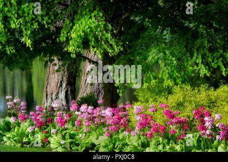 Primrose garden. Crystal Gardens. Portland. Oregon - Stock Image