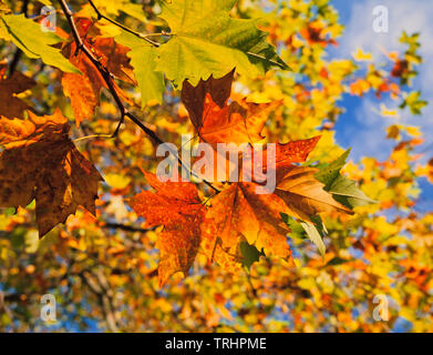 Auumn leaf colors, Sycamore, Acer pseudoplatanus, - Stock Image