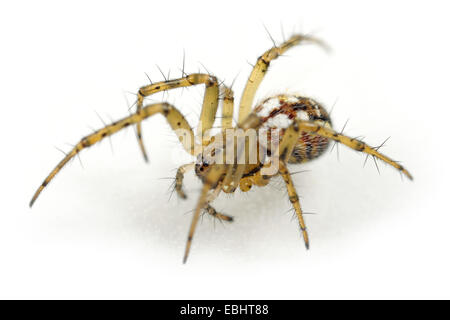 Female Mangora acalypha spider on white background. Family Araneidae, Orb weavers. - Stock Image