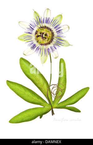Blue passion flower (Passiflora caerulea) AGM flower, leaf and tendril on the white background July Leeds West Yorkshire - Stock Image