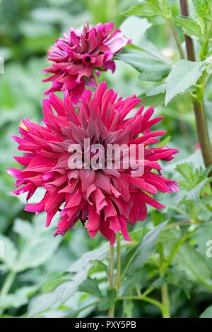 Close-up of purple/burgundy coloured Dahlia 'Ripples' - Stock Image