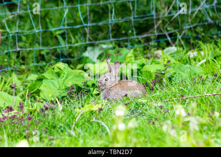 A young European Wild rabbit (Oryctolagus cuniculus) sits alert in the grass at the edge of a field with butterburr leaves and a fence behind it. - Stock Image