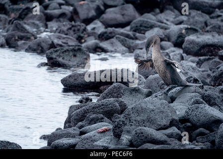 Flightless Cormorant, Galápagos - Stock Image