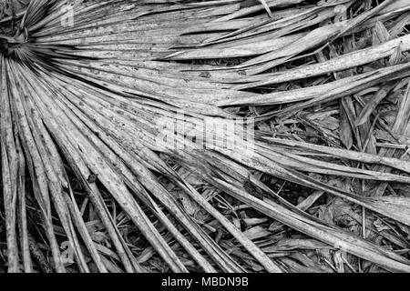 Black and whire image of the fronds of a dead palm leaf. - Stock Image