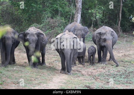 A parade of elephants protecting young calfs as they move about in formation in Wasgamuwa, Sri Lanka - Stock Image