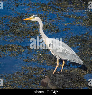 A Grey Heron feeding at low tide in Belfast Lough - Stock Image