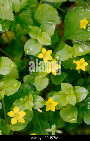 Lysimachia nemorum, Yellow Pimpernel flowers, Wales, UK - Stock Image