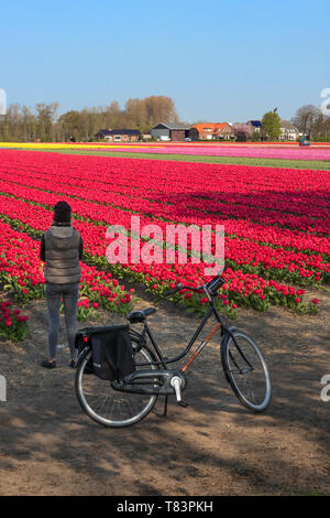 Lisse, Holland - April 18, 2019: Tourist with a bike is looking at the traditional Dutch tulip field with rows of red, pink and yellow flowers - Stock Image