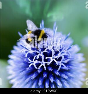 Echinops vetch blue with bumblebee - Stock Image