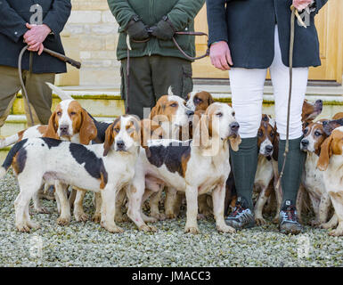 The East Lincs (Lincolnshire) Basset Hounds - Meeting at Temple Bruer in Lincolnshire - Close up of the hounds at the start of the day - Stock Image