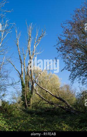 Dead trees against autumn sky Milton park Cambridge 10/11/2018 - Stock Image