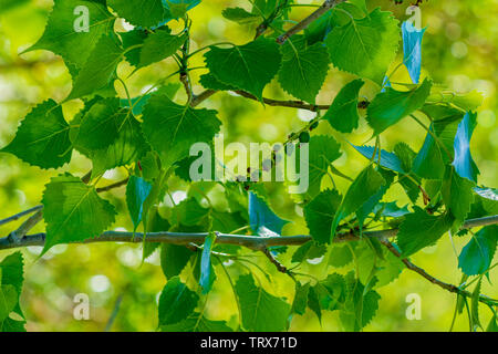 New leaves of a Plains Cottonwood tree in spring, Castle Rock Colorado US. Photo taken in June. - Stock Image