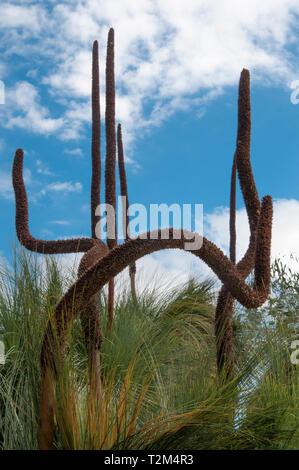 Common Grass- Tree, Xanthorrhoea australis at  Australian Garden, Cranbourne, Victoria - Stock Image