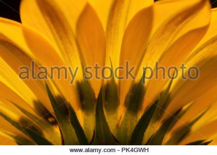 Beautiful Backlighted Yellow Daisy - Stock Image