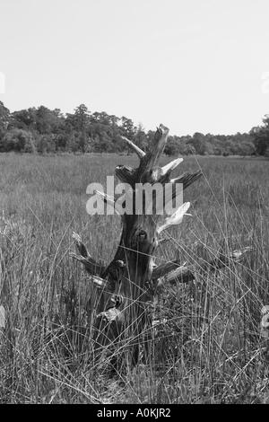 Weathered tree in wetland outside of Savannah Georgia, USA. - Stock Image
