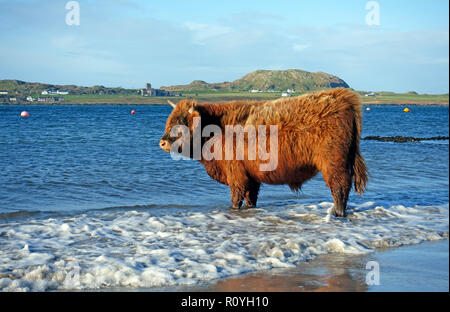 Sound of Iona, Scotland. 8th Nov 2018. UK Weather: Highland cow enjoying a paddle in the Sound of Iona in the Autumn sunshine with Iona Abbey in the background. Credit: PictureScotland/Alamy Live News - Stock Image