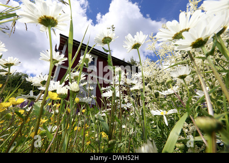 A flowering meadow is growing in this garden in front of a red wooden house in Sweden. - Stock Image