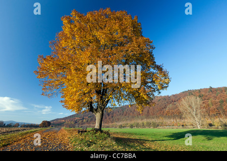 Common Lime Tree (Tilia europaea), in Autumn Colour, Hessen, Germany - Stock Image