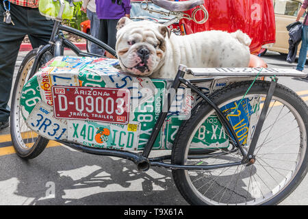 A British/English bulldog in a bicycle sidecar that has the side of the sidecar covered with license plates from a number of USA states at the State S - Stock Image