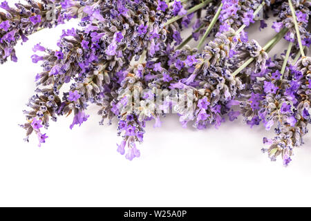 A closeup photo of lavender flowers blossoms on a white background with copyspace - Stock Image