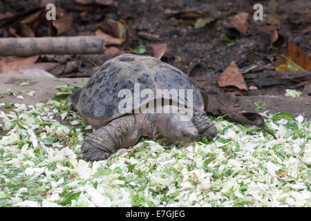 Malaysian Giant Turtle - Stock Image