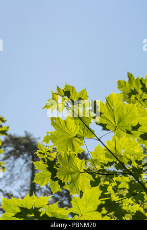 Foliage / leaves of Sycamore [Acer pseudoplatanus] in bright summer sunlight. Sycamore is a member of the Maple family. - Stock Image