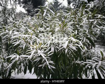 Close-Up Of Pine Tree In Forest During Winter - Stock Image