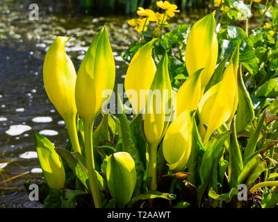 Yellow spathes of the western skunk cabbage, Lysichiton americanus, in early spring - Stock Image
