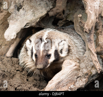badger; wildlife; animal; american badger; closeup; nature; outdoors; wild; isolated; mammal; forest; funny; fauna; predator; - Stock Image