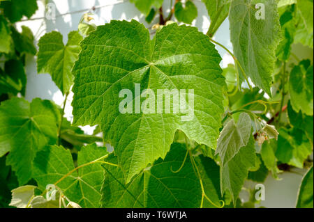 close up of grape vine leaf in greenhouse - Stock Image