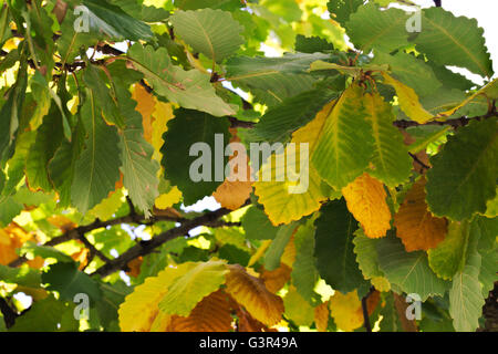 Dense autumn colored leaves on an oak tree. - Stock Image