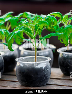 A tomato plant (Solanum lycopersicum) ready to be planted out into the garden which have been grown from seed - Stock Image