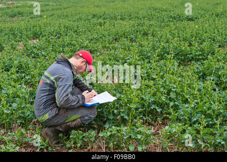 A farmer in his field of newly-germinated oilseed rape (canola) - Stock Image