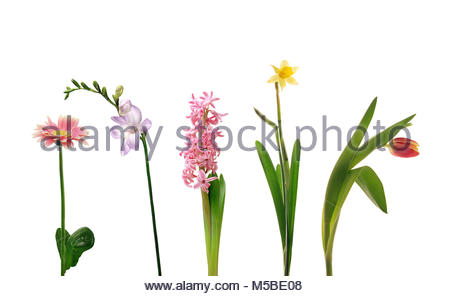 Various single spring flowers, isolated on white background - Stock Image