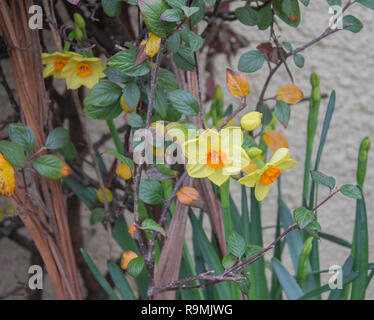 Castlehaven, West Cork, Ireland, December 26th 2018. The Daffodils are already in flower in the front gardens of Castlehaven village, so spring must have arrived! Credit: aphperspective/Alamy Live News - Stock Image
