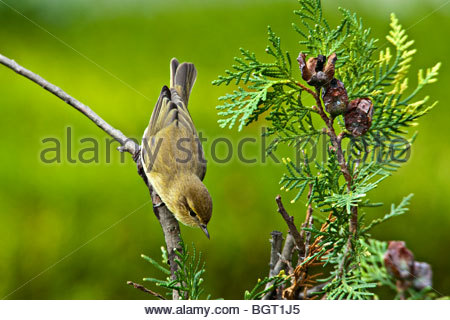 CHIFFCHAFF (Phylloscopus collybita) hunting for insects on Monterey Cypress (Cupressus macrocarpa). Forest of Dean, - Stock Image