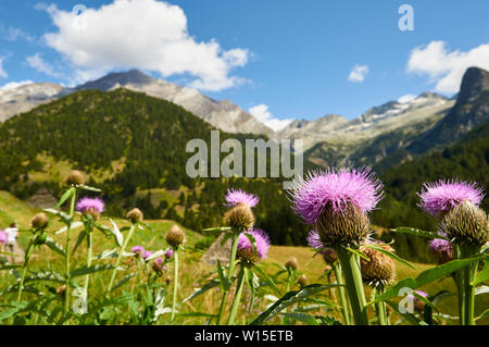 Maral root (Rhaponticum centauroides) thistle flowers with Posets massif at the back (Viadós, Chistau valley, Sobrarbe, Huesca, Pyrenees,Aragon,Spain) - Stock Image