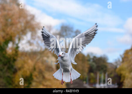 A black headed gull (Chroicocephalus ridibundus) in adult winter plumage hovering on the wing - Stock Image