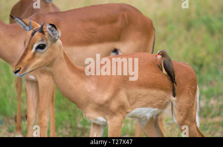 Red-billed oxpecker feeding of ticks on back of juvenile male impala.  Bird's beak is stuffed with hair from host - Stock Image