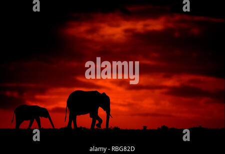 The Elephants. / DUSK TILL DAWN images show Africa's rich wildlife silhouetted during the beginning and the end of the day when the light reaches its perfect state of illumination. A hippopotamus is shown lurking in the water, whilst other stunning photographs give an intimate glimpse of lions, giraffes, kudu's, flamingo's, elephants, leopards, rhino's and zebras in this beautiful silhouetted technique. Evan a swarm of bats can be seen flying across the African sunset. Other dramatic photos from across southern and eastern Africa show an injured wildebeest evading a fire that has swept across  - Stock Image