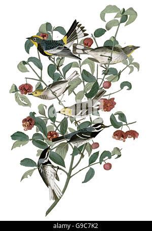 1 Yellow-rumped Warbler, Dendroica coronata, 2 Black-throated gray Warbler, Dendroica nigrescens, 3 Hermit Warbler, - Stock Image