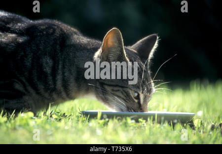 Tabby cat drinking from saucer in garden - Stock Image