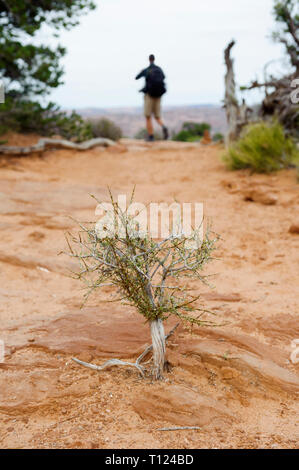 Tiny juniper tree on a trail with an out of focus hiker in the background. Arches National Park, Utah, USA. - Stock Image