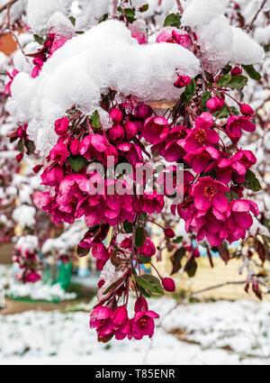 Crab Apple Tree dusted with fresh springtime snow; Salida; Colorado; USA - Stock Image
