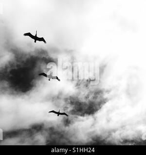 Three pelicans flying above. Manhattan Beach, California USA. - Stock Image
