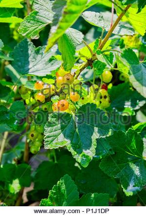 Johannisbeeren, AKA red currants, gooseberries, Ribes rubrum, are just beginning to ripen in early June. - Stock Image