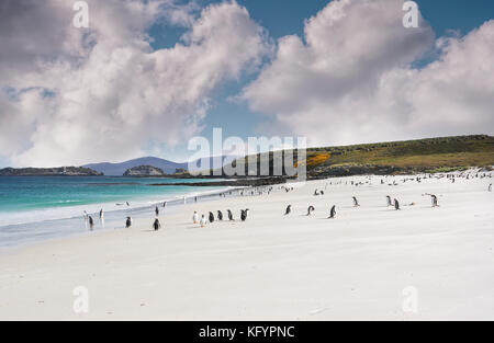 Falkland Islands landscape with wide white sandy beach, turquoise water, no people, but a colony of northern gentoo - Stock Image
