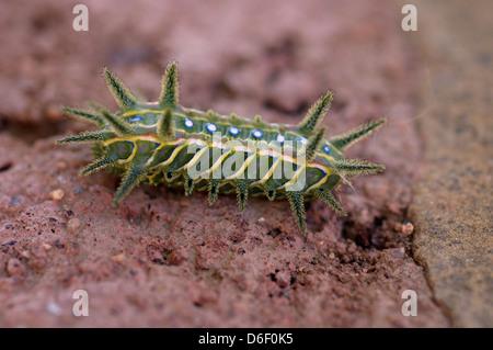 Slug / Cup moth caterpillar (Limacodidae = Euclidae) with stinging bristles, Namibia - Stock Image