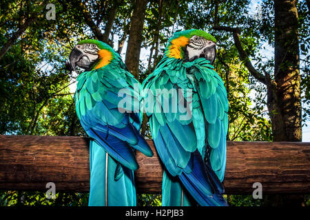 Photo of a South African beautiful bird, two big colorful macaw parrot in the forest sitting on the tree - Stock Image