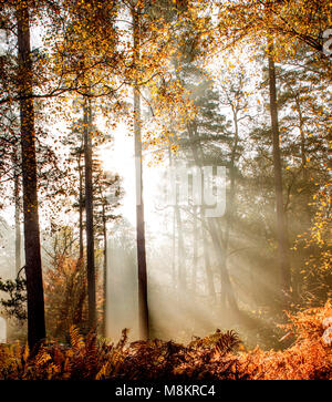 Rays of sunlight shining through early morning mist in woodland, Dorset, England, UK - Stock Image